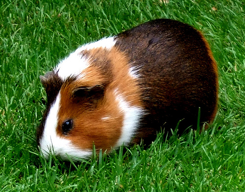 guinea pig eating photo