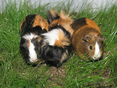 Guinea Pigs photo