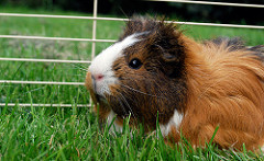 What Is The Best Guinea Pig Bedding The Excellent