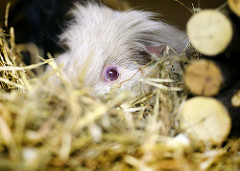 guinea pig hutch photo